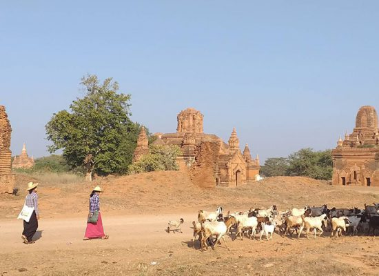Local Community support (Goat Keeping Tour in Bagan)